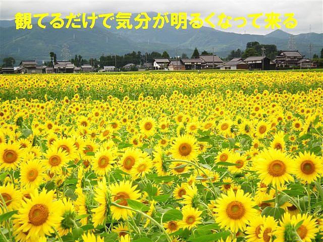 ひまわり (2)