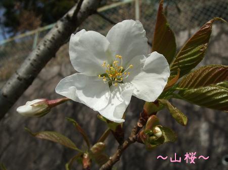 毎日見にくるから、咲いてやったよ!