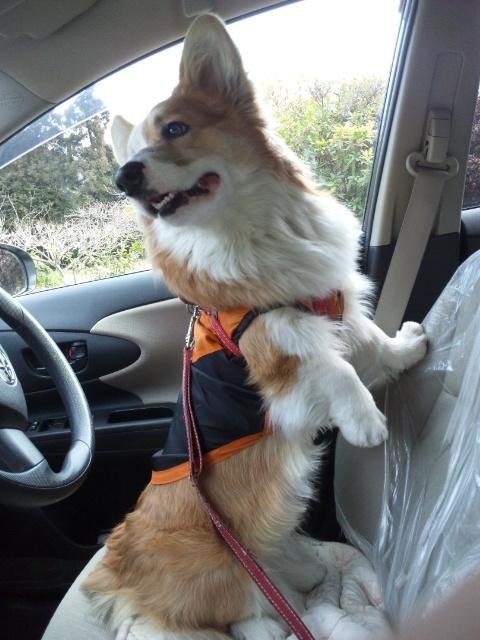 運転席のマロン1