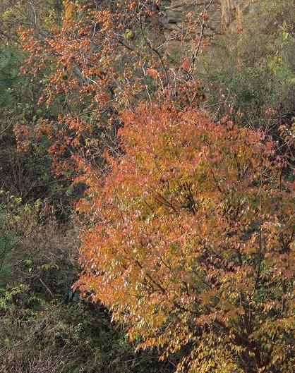 柿と桜 022
