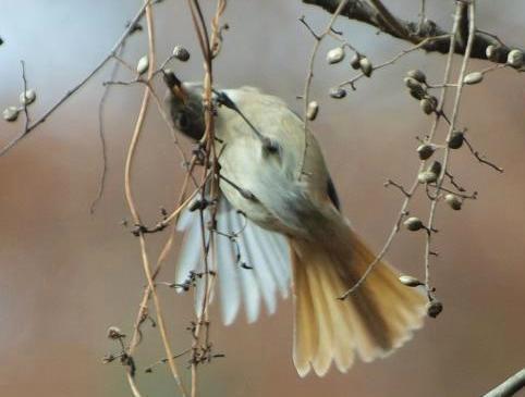 ジョウビタキ雌248