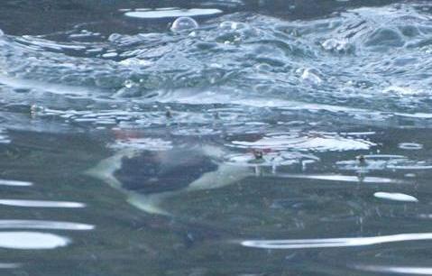 水中のカワアイサ 236