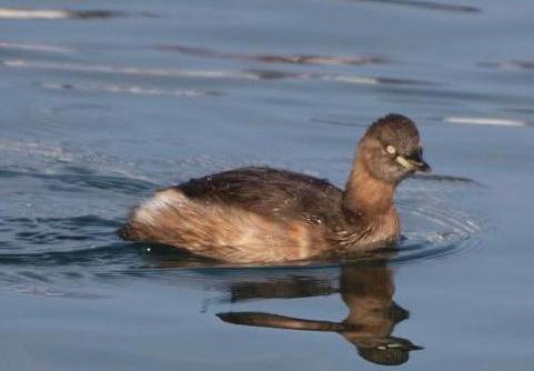 オオバン幼鳥 585
