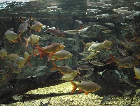 メコン中流魚 079