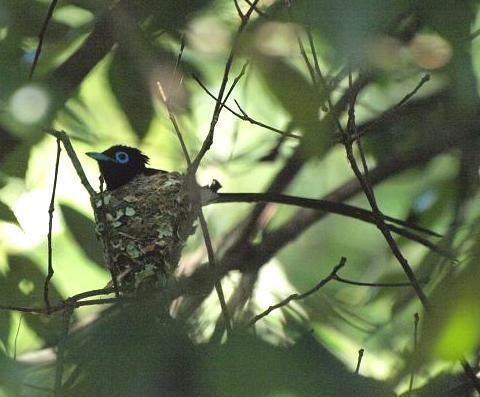 三光鳥 159