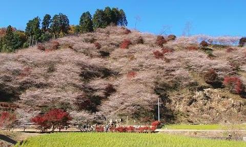 桜と紅葉 046