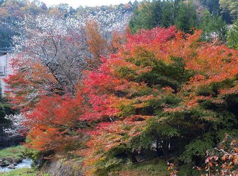 紅葉と桜 036
