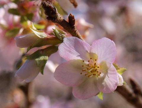 四季桜 085
