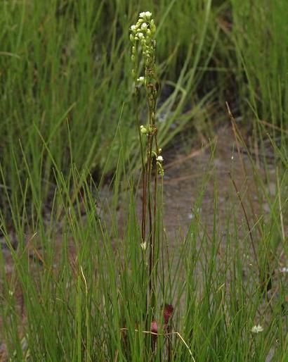 モウセンゴケの花 72