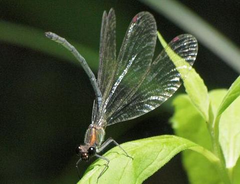 ニホンカワトンボ 30