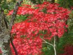 祖谷の紅葉