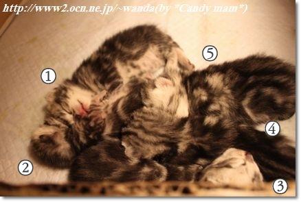 アメリカンショートヘア 子猫写真