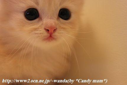 マンチカン 子猫写真