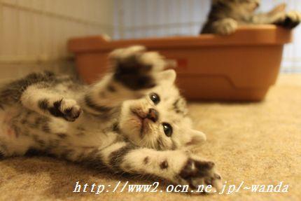 アメリカンショートヘアー 子猫
