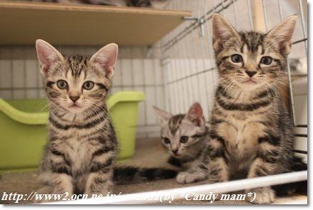 アメリカンショートヘアー 子猫写真