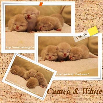 スコティッシュフォールド/カメオ&ホワイト
