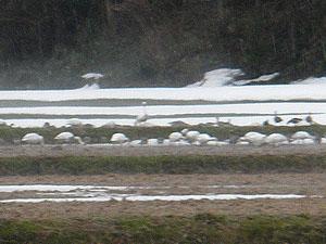 竹直耕地の白鳥