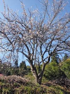桜の季節の梅