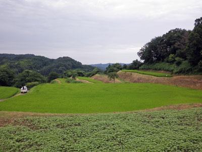 大賀コシヒカリ圃場
