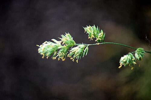 110603 草穂の花