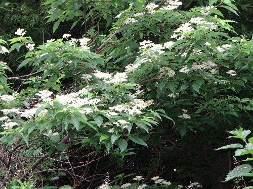110626 木の花