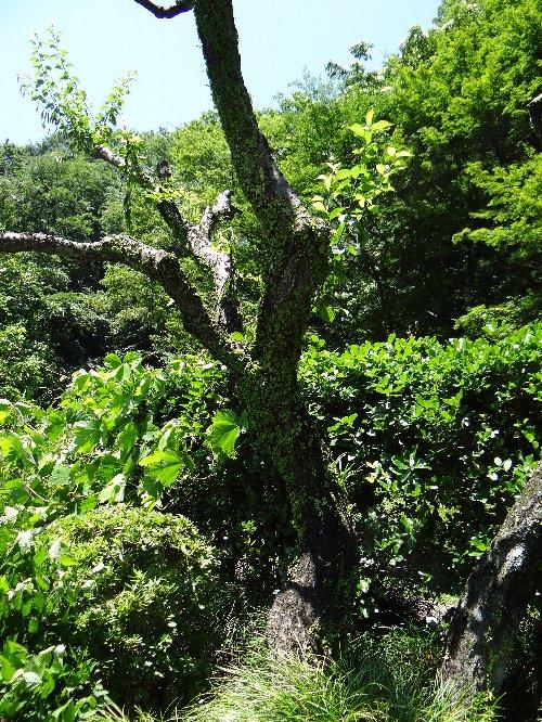110706 マメズタ梅の木