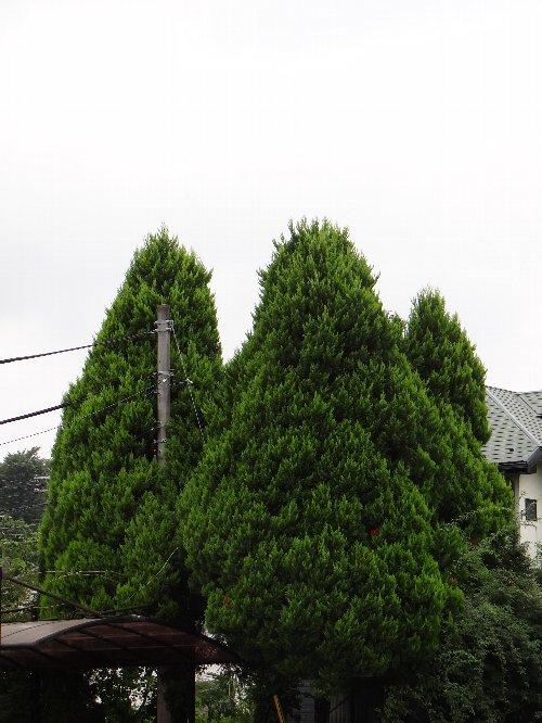 110808 電柱の木