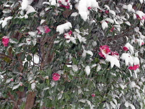 山茶花に雪