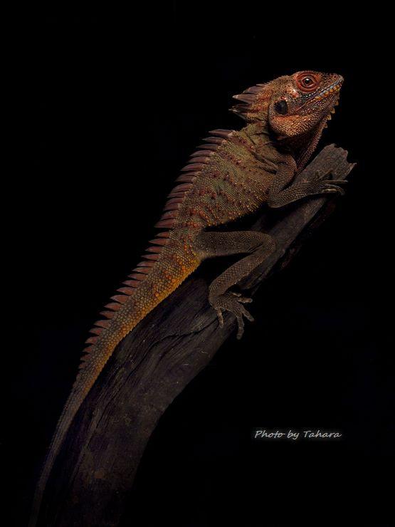 Hypsilurus dilophus