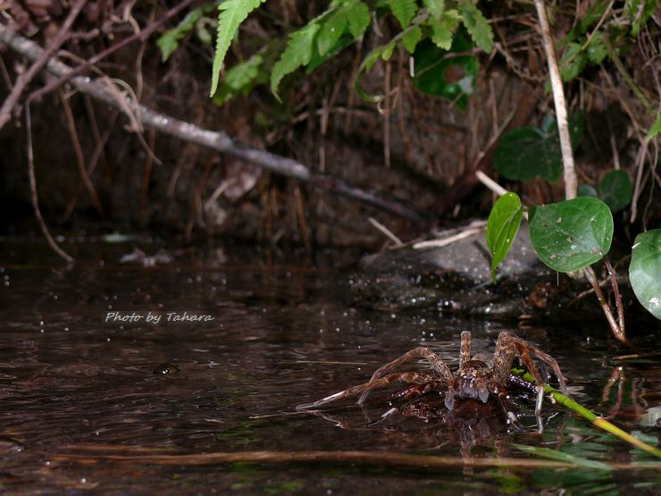 Dolomedes orion