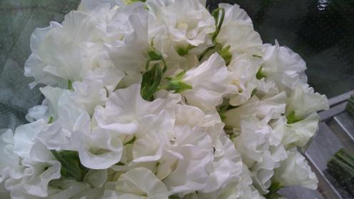 sweetpea_white.jpg