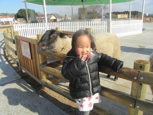 マザー牧場羊と