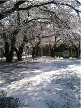 散ってる桜・・
