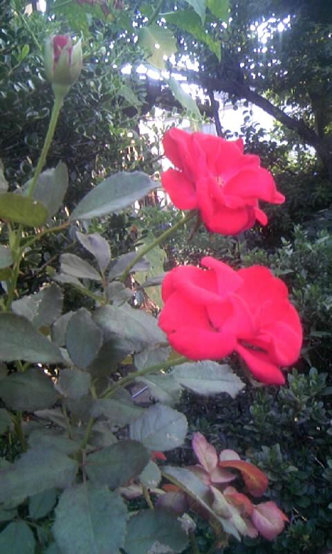 090925_072959紅い薔薇