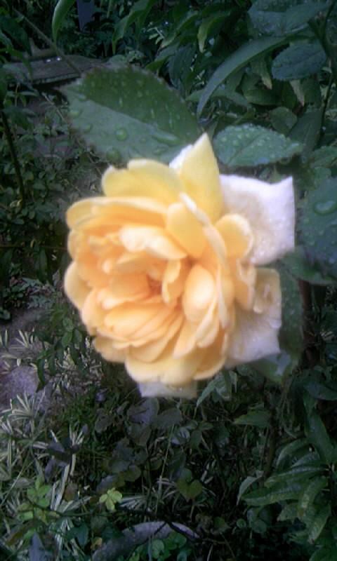091001_061938薔薇 黄