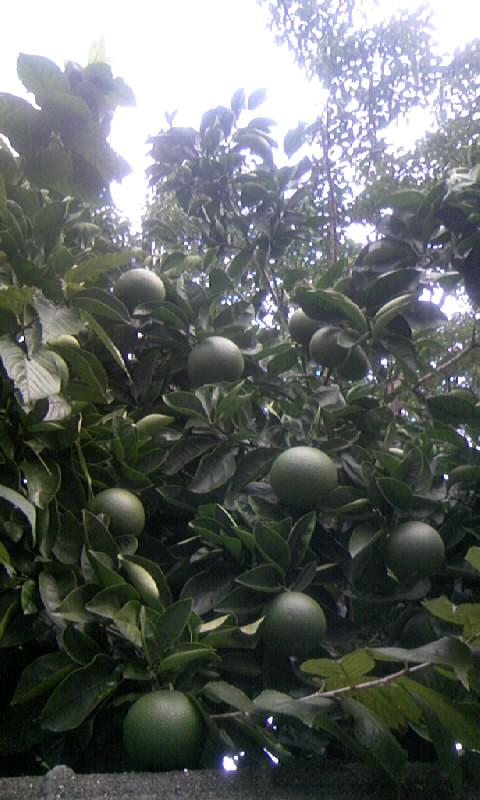 091005_081549柑橘の青い実