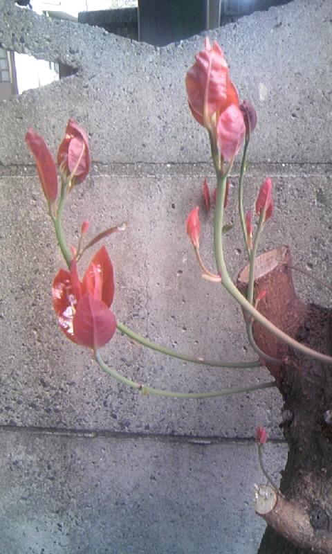 091005_074557木の芽