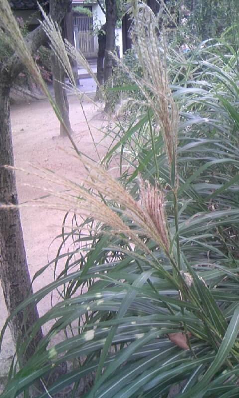 091005_150858お寺の斑入り葉のススキ