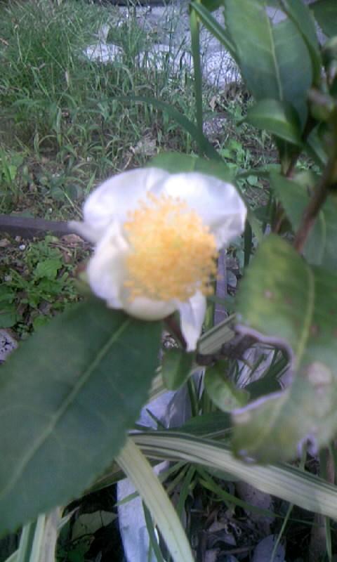 091012_082407お茶の花