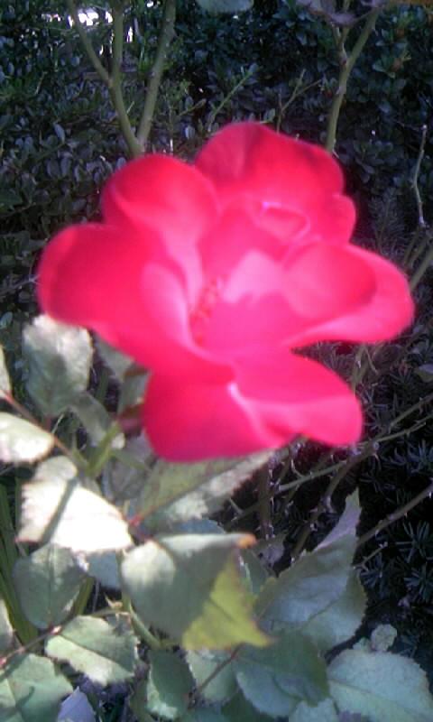091011_083608紅薔薇
