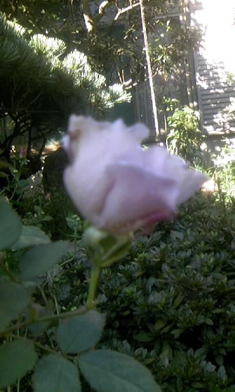 091011_083758ブルーの薔薇