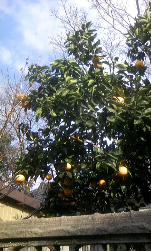 100205_090230柑橘