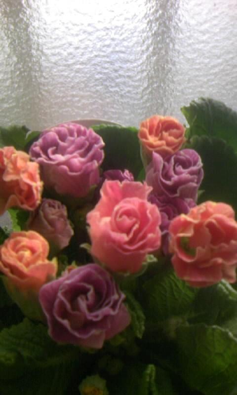 100206_085729バラ咲きジュリアン