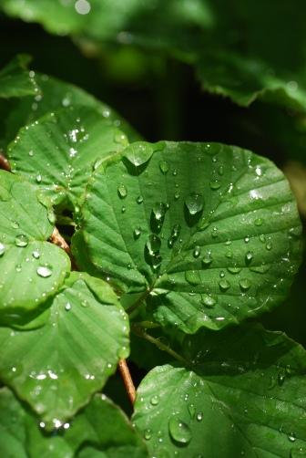 201005ヒュウガミズキの葉