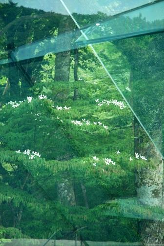 201006POLAガラス越しのヤマボウシ