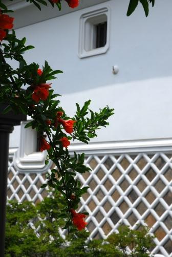 ヒカリヤ・蔵とザクロの花