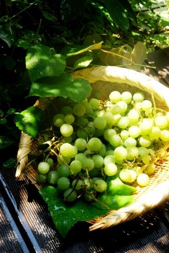 201008ぶどう収穫