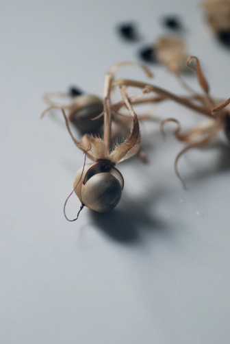 201008朝顔の種④