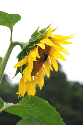 2010ひまわりとハチ