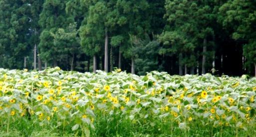 2010ひまわり畑